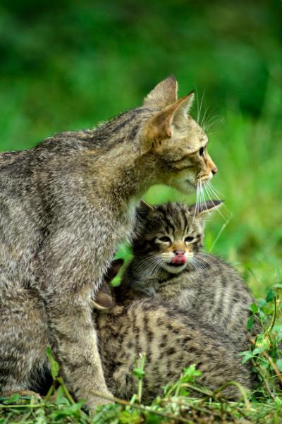 Auf den Spuren der Europäischen Wildkatze